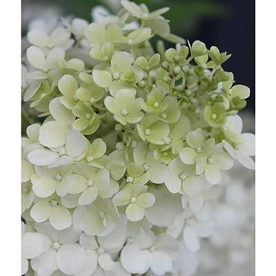 Hydrangea, Bobo Flowering Shrub, Quart-Size Pot : Garden & Outdoor
