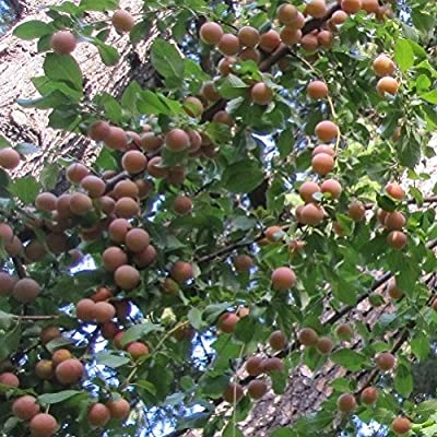 40 Seeds of Pink Cherry Plum Tree seeds - Rare hard to find small size sweet fruit!