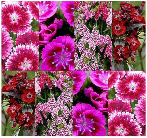 Dianthus Barbatus Sweet (4 Packs x 2,000 SWEET WILLIAM Flower Mix - MULTICOLOR Dianthus barbatus - BIG FAVORITE - Flower Seeds Thrive in SUN or partial SHADE - USDA Zones 3-9 - By MySeeds.Co)