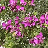 Polygala maceta 15cm. - Arbusto de flor