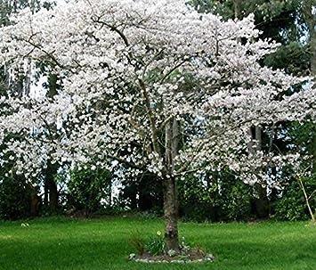 AL 20 SEED Snow Fountain Weeping Cherry Tree DIY Home Garden Dwarf