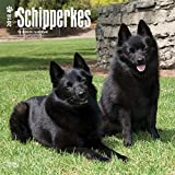 Schipperkes 2018 12 x 12 Inch Monthly Square Wall Calendar, Animals Dog Breeds (Multilingual Edition)