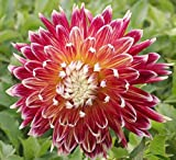 Ball of Flame Dahlia Seed Pack