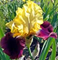 Blatant Purple & Yellow BEARDED REBLOOMING IRIS (1) Rhizome/Bulb/Root Ready for Planting Now