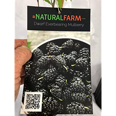 """AchmadAnam - Live Plant - Organic Dwarf Mulberry Everbearing with Leaves - 4"""" or 6"""" Pot - Established - Non-GMO FLA-Grown (Include 3lb Bag). E7 : Garden & Outdoor"""