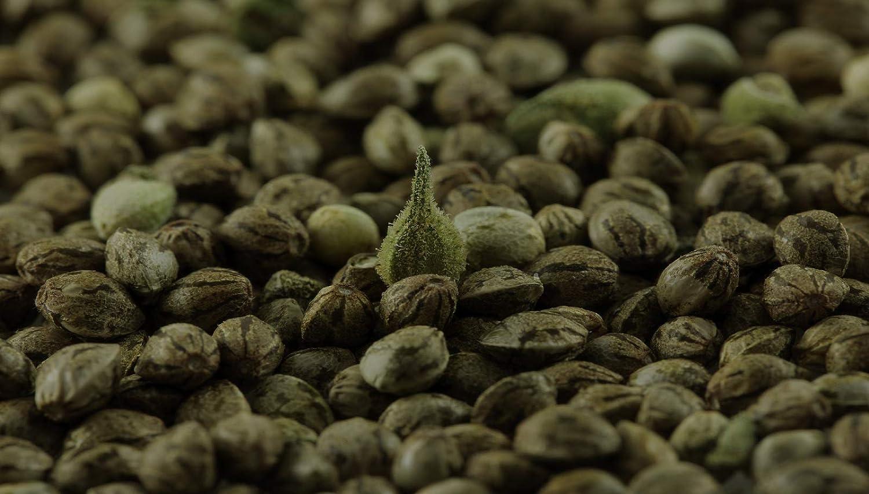 Amazon com : Registered Colorado Hemp Seeds - Premium 12% to