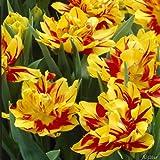 Tulpenzwiebeln Monsella Gelb mit roten Streifen - Blumenzwiebeln, mehrjährig & robust- Frühe Tulpe Monsella - 7 Tulpen-Zwiebeln von Garten Schlüter - Pflanzen in Top Qualität