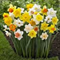 50 Large Assorted Pink Pride, Ice Follies, Unsurpassable, Barret Browning, Red Devon Trumpet, Daffodil Narcissus bulbs Blooms Mid Spring Deer Won't Eat