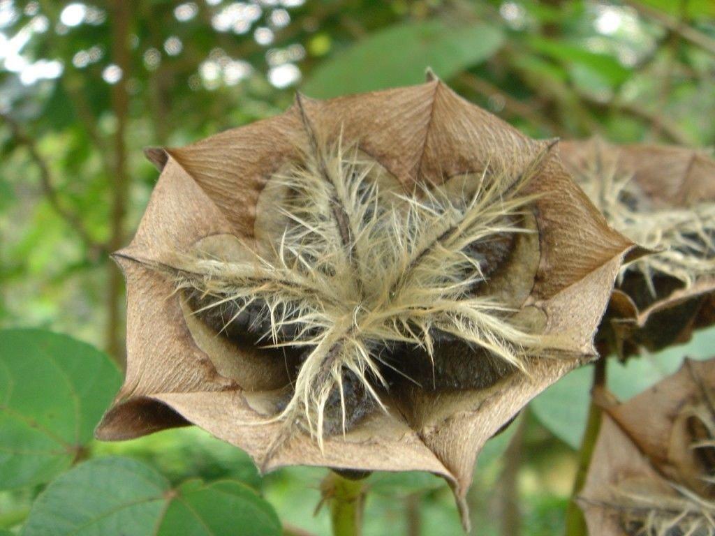 Amazoncom Abroma Augusta Devils Cotton Rare Tropical Plant