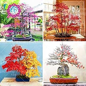 20Pcs RARE Japanese Maple Seeds Rare Rainbow Color Very Beautiful Japan Plants New Seeds Garden Bonsai Tree INDOOR PLANT