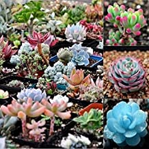 Polytree 100 Pcs Mix Succulent Lithops Seed Pseudotruncatella Bonsai Plants Seeds