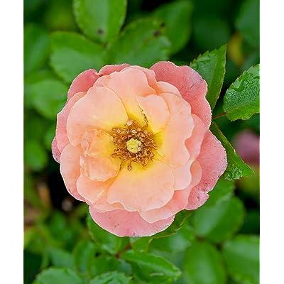 1 Gallon Live Plant Peach Drift Rose Shrubs Groundcover Plant Roses Outdoor Gardening tktreas : Garden & Outdoor