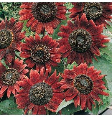 David's Garden Seeds Sunflower Velvet Queen D05311A (Red) 50 Organic Seeds