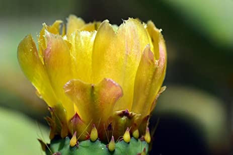 Amazon laminated 36x24 inches poster flower blossom bloom laminated 36x24 inches poster flower blossom bloom yellow yellow flower flowering prickly pear cactus prickly mightylinksfo