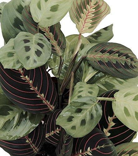 "Shop Succulents 2 Prayer Plant Maranta Easy to Grow-4"" Pot"