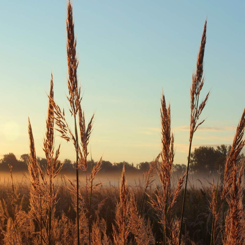 Outsidepride Andropogon gerardii Big Bluestem Native Prairie Grass Seed - 1 LB