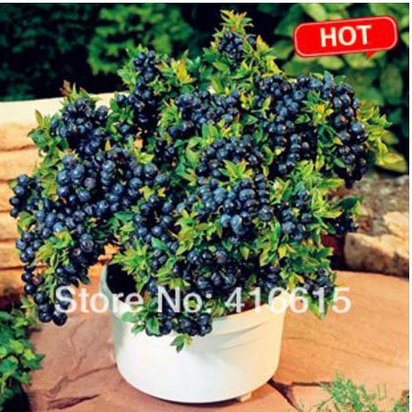 500 seeds/pack Blueberry seeds Bonsai Edible fruit seed, Indoor, Outdoor Available