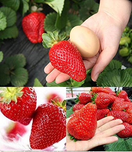 Giant Strawberry Seeds 100Pcs / BIG Red Strawberry / Organic Seeds Garden - Organic Tree Seeds