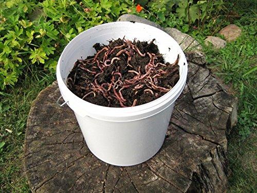 Compost gusanos Dream Team de gusano Comercio - para el compost - Muy activa Mist gusanos - eisenia & dendro baena - Set profesional - Número de 1000 ...