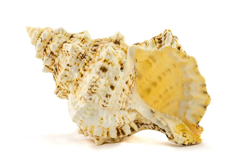 "Frog Shell Sea Shell | 1 Frog Shell Sea Shells | 9"" Collector Shell | 1 piece Set for Display or Decor | Plus Free Nautical Ebook by Joseph Rains"