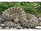 This beautiful image of a prairie rattlesnake will make a great addition to your home or office! Bring the beauty of Alberta, Canada home in the form of fine-art photographic or canvas prints featuring images of landscapes, wildlife and abandoned far...
