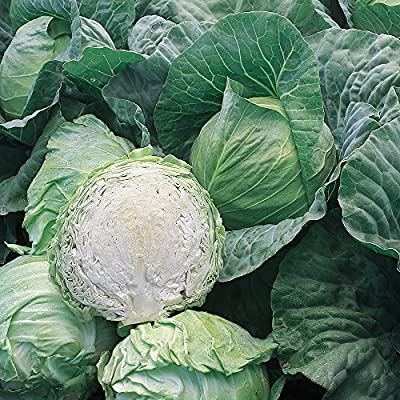 Burpee Early Jersey Wakefield Cabbage Seeds 200 seeds