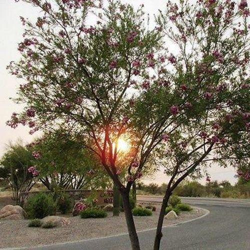 (Desert Willow Tree Seeds (Chilopsis linearis) 30+Seeds)
