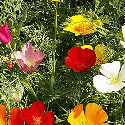 California Poppy Seed Paper (Everwilde Farms - 1 Lb Mixed California Poppy Wildflower Seeds - Gold Vault)