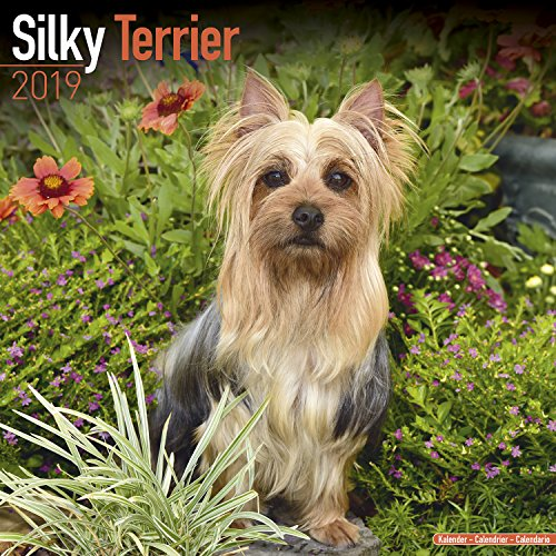 Silky Terrier Calendar - Dog Breed Calendars - 2018-2019 Wall Calendars - 16 Month by Avonside