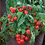 Tomato Red Small Cherry Fruits, Heirloom, Patio, Window Seal, Containers, Bulk 288 Seeds