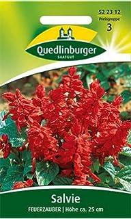 "Kiepenkerl /""Feuersalbei Johannisfeuer /""Salvia  ca 40   Samen   Blumensamen,836"