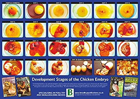 Broad Leys Development Of The Chicken Embryo 295cm X 42cm A3 New
