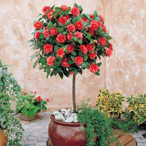 10 Semi Camellia Semi di camelia semi fiori semi di fiori piante fai da te # 32346631113ST