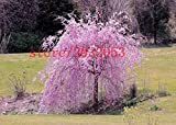 20 sakura seeds fountain weeping cherry tree seeds,japanese bonsai tree seeds for DIY Home Garden Dwarf Tree