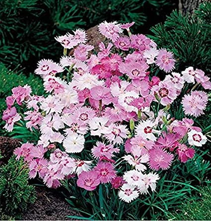 jard/ín Beautytalk Jard/ín-Clavel raro Clavel Flor perfumada Semillas de clavel Semillas de flores Flores perennes Hardy Bees para balc/ón