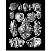Ernst Haeckel Shells v2-11x14 Unframed Art Print - Great Beach House Decor