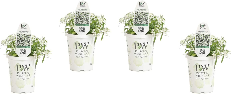 White Knight SweetAlyssum (Lobularia) Live Plant, White Flowers, 4.25 in. Grande, 4-pack