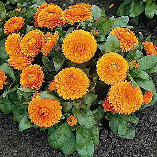 Marigold Pots (Calendula Seeds - Bon Bon Orange - Pot Marigold - Edible - English Marigold - Liliana's)