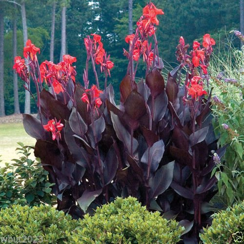10 Canna Lily Seeds – Tropical Bronze Scarlet Canna Flower – Wonderful foliage