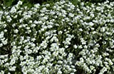 Arenaria Montana Choose 10 Rock Garden Plants