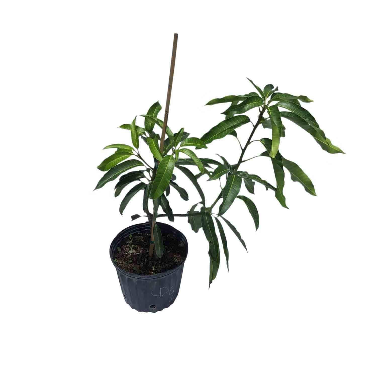 Glenn Mango Tree, Grafted, 3 Gal Container from Florida by Everglades Farm