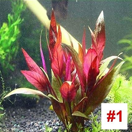 Amazon com: TOPmountain Aquatic Plant Seed,Aquarium Fish Tank Water