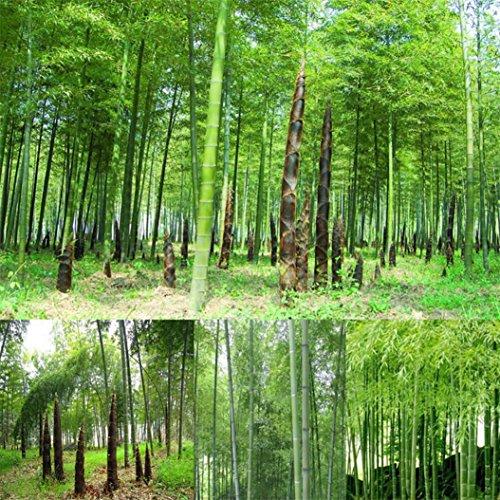 Review Yinpinxinmao 100x Bamboo Seeds
