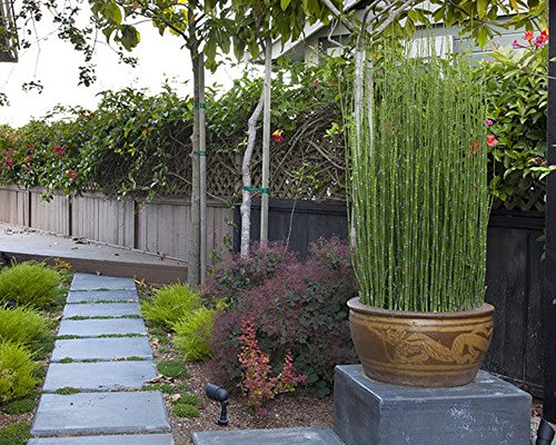 8 x Horsetail Reed Bamboo Looking Zen Garden & Pond 2 Foot tall Plants by justice fighters (Image #1)
