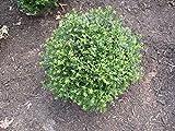 Chicagoland Boxwood Buxus Glencoe Established Evergreen 2.5'' Pot 12 Plants