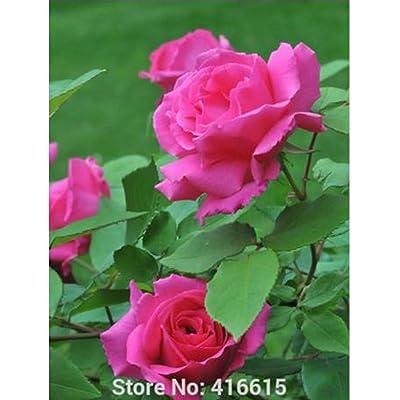 100 Rose Zephirine Drouhin Seeds Bourbon Heirloom Pink Rose Climber Climbing Rose Seeds Bonsai Flower And Garden Plants Seeds : Garden & Outdoor