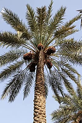 10 Medjool Date Palm SEEDS, Pits, Phoenix dactylifera Large Fruit Mejhool Dates