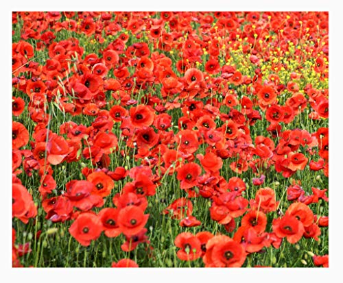 Red Flanders Poppies - 100,000 Poppy ()