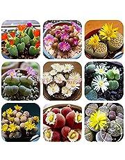 100 Rare Mix Lithops Seeds Living Stones Succulent Cactus Organic Garden Bulk Seed