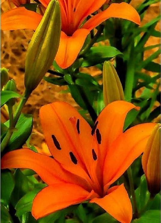 10 cipolle di giglio giganteCreil gigli fino a 150 cm cipolle invernali profumate fiori estivi